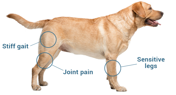 Osteoarthritis in Labrador Retrievers
